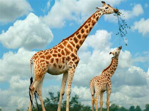 imagenes de jirafas salvajes jirafas donde y cuanto viven las jirafas y cuanto miden
