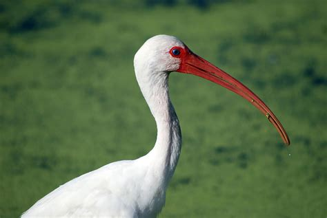 white ibis audubon field guide