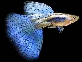 Blue  Fish   Live tropical fish