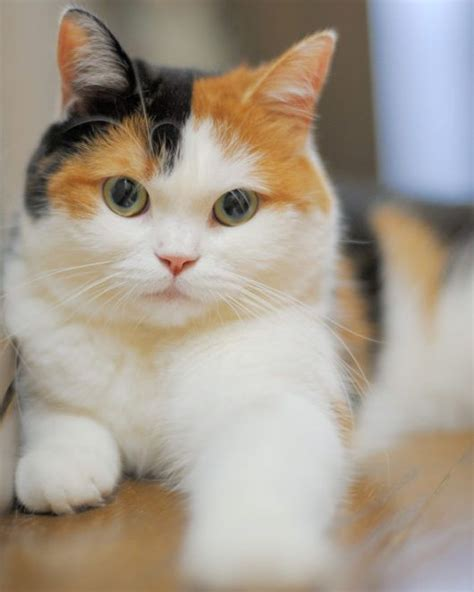 Calico Cat Breeds   The Tri Color and Gorgeous   Cats In Care