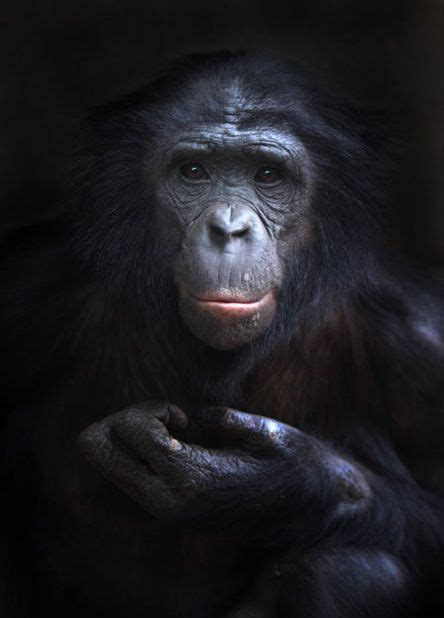 black zoo girls 143 best images about bonobo on pinterest mothers