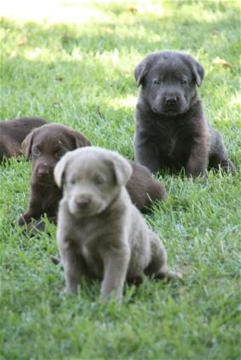 silver lab puppies for sale in california blue labradors silver labradors breeds picture