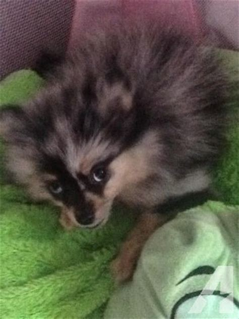 colored pomeranian puppies pomeranian puppies color for sale in santa rosa california classified