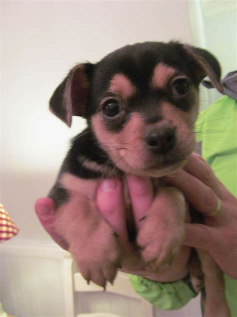 chihuahua cross pug puppies for sale uk tiny chihuahua cross pug swansea swansea pets4homes