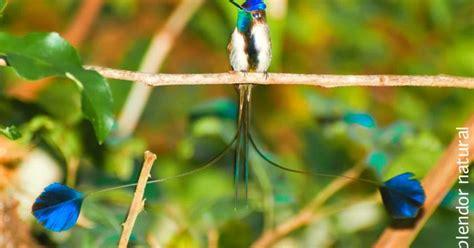 esplendor natural esplendor natural el colibr 237 cola de esp 225 tula