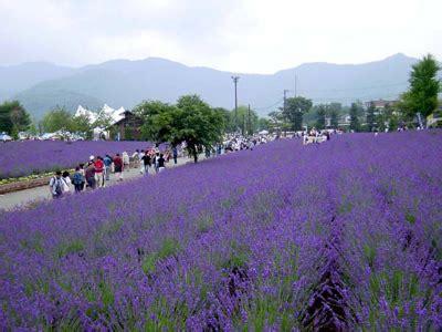 Bunga Lavender 81 festival herbal kawaguchiko 20 juni 13 juli official