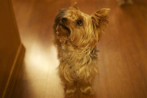 is there such thing as a teacup yorkie get to the terrier from blue collar to blue blood