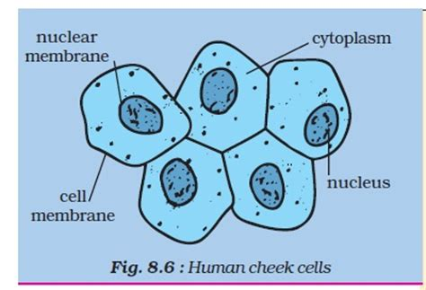 cheek cell diagram cheek cell labeled diagram www pixshark images