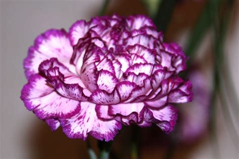 carnation tattoo carnation flower part 2 weneedfun