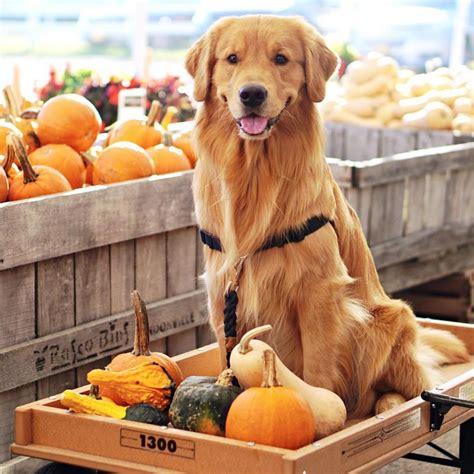golden retriever pet store golden retriever refuses to leave pet store in hilarious