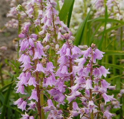 buy hyacinthoides hispanica pink spanish bluebell de