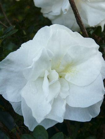 hardy gardenia azalea rhododendron hardy gardenia