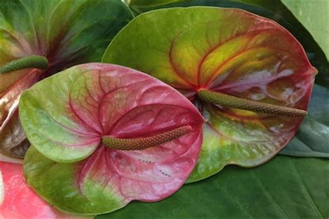 name something that changes color hawaiian flower buying guide from with our aloha