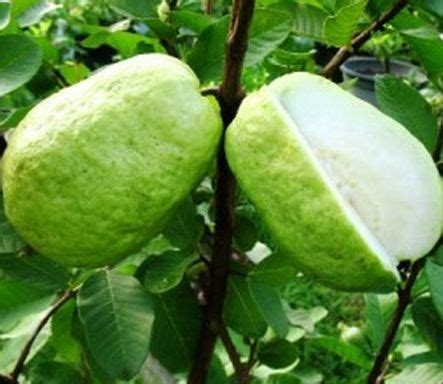 Tanaman Strawberry Guava Jambu Leci tanaman jambu sukun tanaman buah