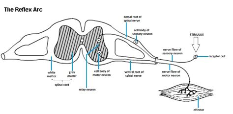 diagram of the reflex arc sweetibnotes