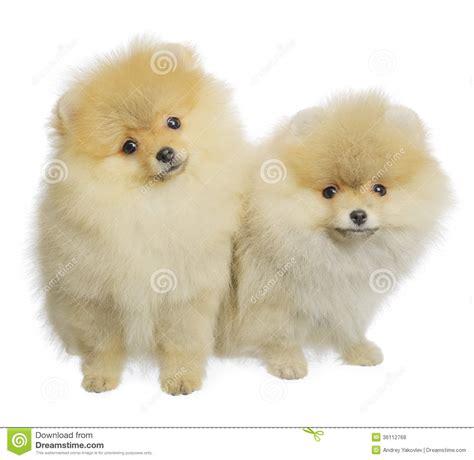 pomeranian spitz white pomeranian spitz stock photo image of front canine 36112768