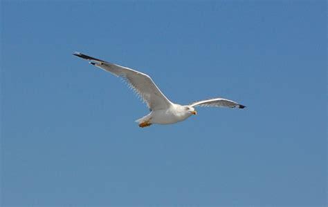 uccello simile al gabbiano quanto pesa l nell antichit 224 si pensava fosse