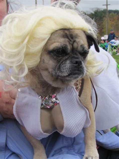festive pug pug festival spencer ma 2013 pug