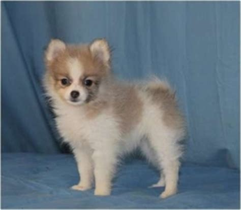 teacup pomeranian puppies for sale in arizona view ad pomeranian puppy for sale arizona tucson