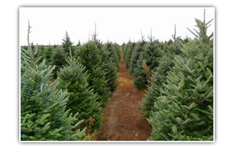 awesome picture of ponderosa pine christmas tree perfect