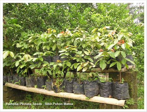 Bibit Buah Matoa jual tanaman hias bibit pohon matoa