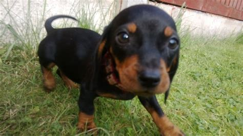 dachshund puppies ohio weiner puppies for sale in ohio breeds picture