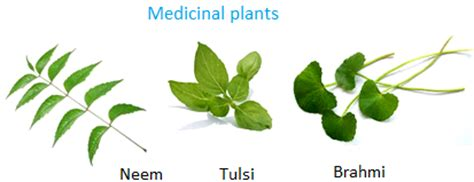 What Type Of Tree Is Used To Make Paper - uses of plants plants as food plants as medicines