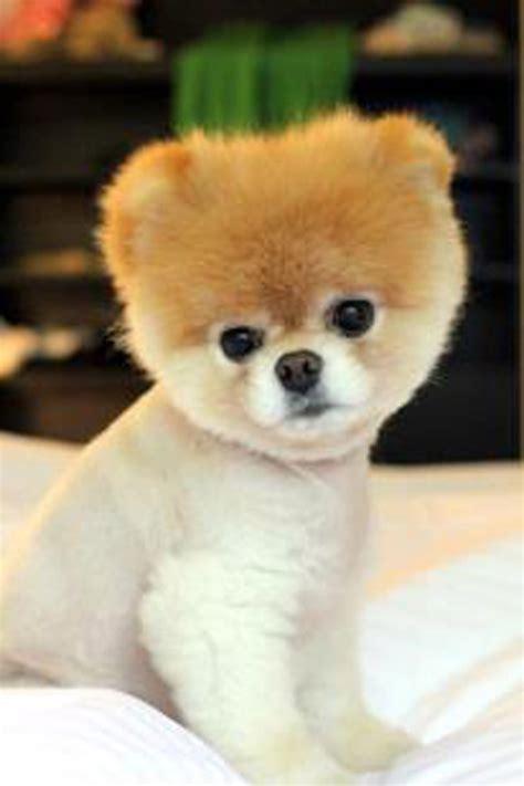 imagenes de animales japoneses el perro m 225 s lindo del mundo miami al d 237 a