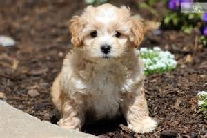 shichons haircut shichon puppy for sale near lancaster pennsylvania c2d36902 1ab1