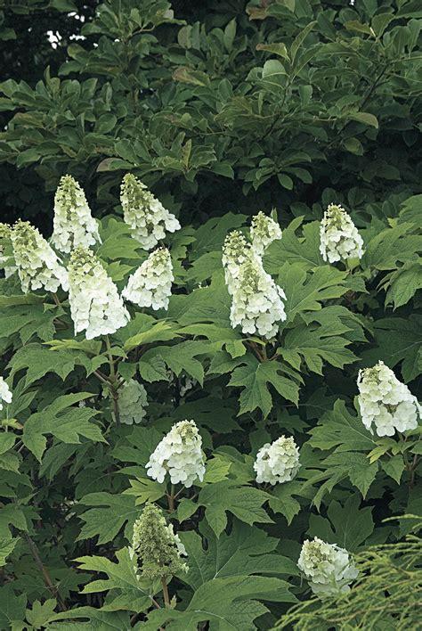 White Left Flower a master class in pruning hydrangeas from white flower