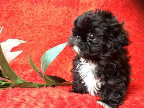black shih tzu puppy kc small black shih tzu boy manchester greater manchester pets4homes