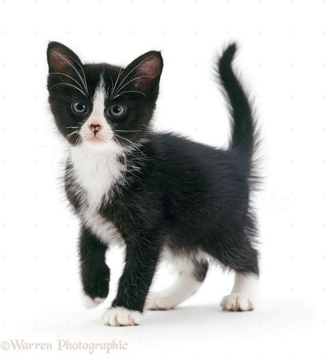 black and white kitten kittens black and white google search cat reference