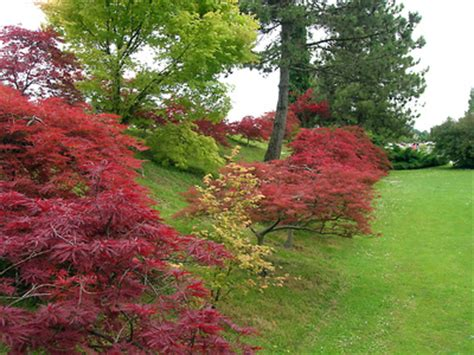 how to care for a dwarf red japanese maple tree ehow uk