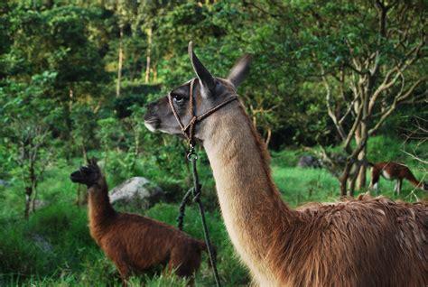 fotos gratis animal fauna silvestre llama lana alpaca animales vertebrado andes