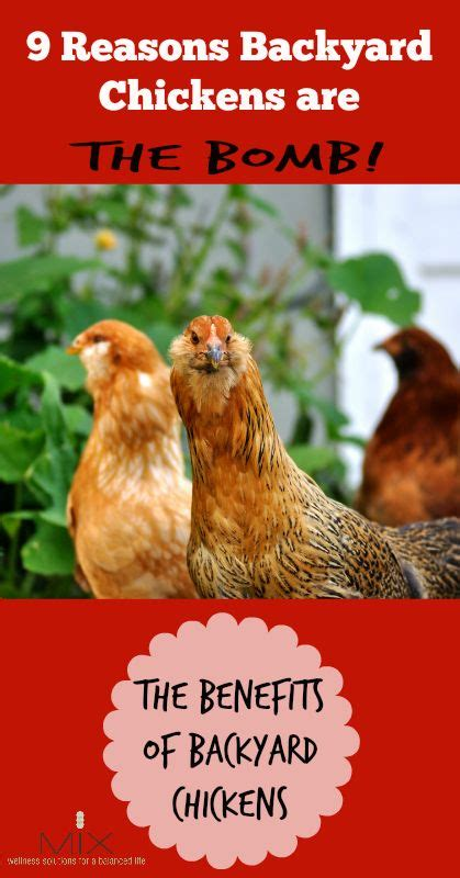 benefits of backyard chickens 1000 ideas about the bomb on pinterest paleo chili