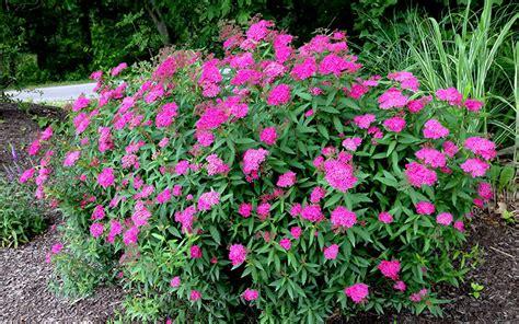 buy anthony waterer spirea online from wilson bros gardens