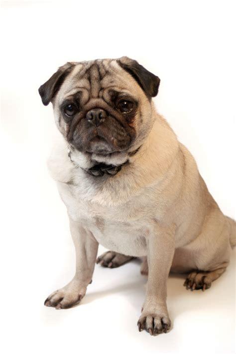 images of pug breed dogs pug pug breeds
