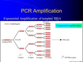 pcr dna template introduction to pcr polymerase chain reaction ppt
