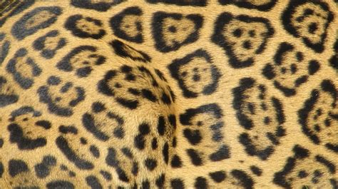 black jaguar pattern jaguar skin pattern free stock photo public domain pictures