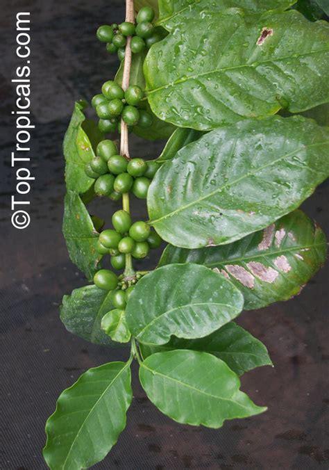 Ecuador Arabica Coffee Washed 250g coffea arabica coffee toptropicals