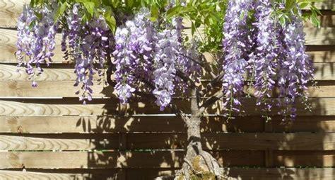 glicine in vaso glicine in vaso piante da terrazzo glicine in vaso pianta