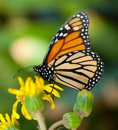 imagenes mariposas naturaleza mariposa monarca colores brillantes elegantes