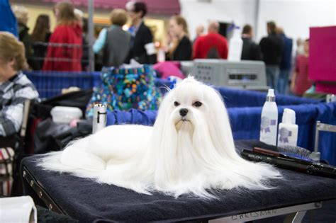 forget football the national dog show is thanksgivings the national dog show 5 reasons to watch on thanksgiving