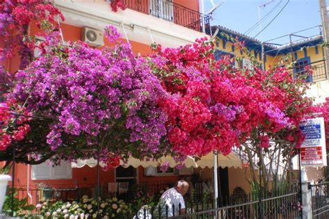 Pupuk Untuk Tanaman Bunga Kertas 6 cara mudah menanam bunga kertas di rumah