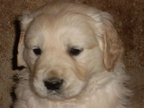 ebay golden retriever golden retriever puppies for sale