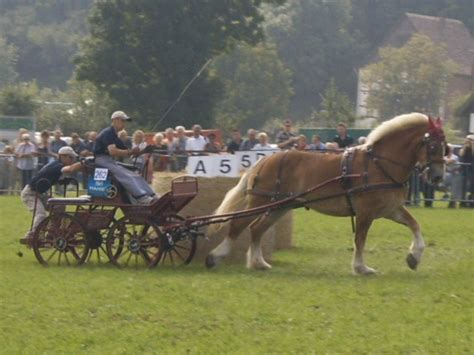 gratis paarden vlaams paard te koop
