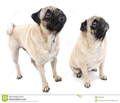 two pugs two pugs royalty free stock photos image 12436538