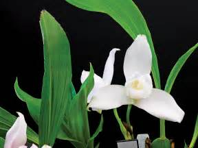 The monja blanca was declared the national flower of guatemala by