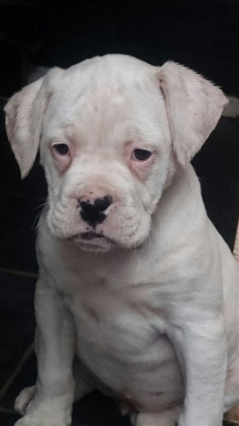 bulloxer puppies american bulloxer puppies west bromwich west midlands pets4homes