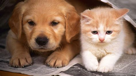 tag for puppy cats hd quits wallpaper funny cat desktop cats and dogs wallpapers hd cute dog and cat wallpapers hd